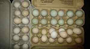 Araucana Fertile Eggs Karalee Ipswich City Preview