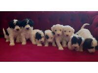 Jackapoo Puppies