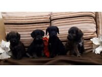 *last one* adorable jackapoo puppies