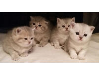 GCCF British Shorthair Kittens for Sale