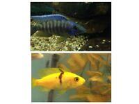 Fish malawi red shoulder peacock + Malawi Firefish 3 Inch