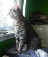 "Adult Male Cat - Domestic Short Hair: ""Monkey"""