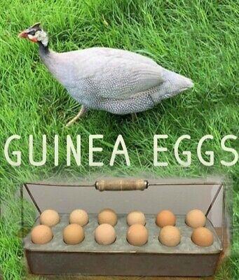 6 Guinea Hens Fertile Hatching Eggs Fancy Colors Npip Farm Healthy Stock