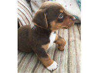 One male dachshund pup for sale