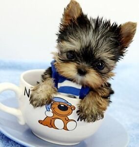 Looking to buy a teacup puppy North Melbourne Melbourne City Preview