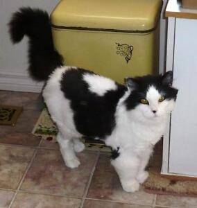 Senior Female  - Domestic Medium Hair-black and white