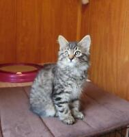 "Baby Male Cat - Domestic Short Hair - brown-Tabby: ""Ernie"""