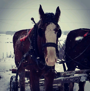 Clydesdale gelding sale/trade for cart