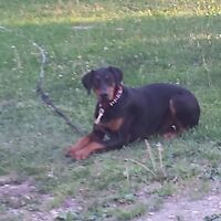 PUREBRED MALE DOBERMAN NEEDS TO GO TODAY