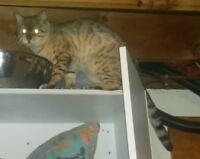 Snow Bengal Male neutered Acreage or Farm Only