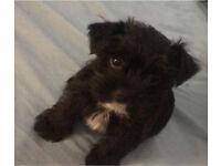 Shorkie puppy shih-tzu x yorkie10 weeks old