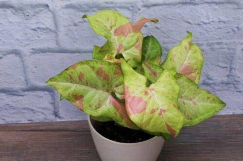 **CONFETTI SYNGONIUM**Starter Plant**AKA Arrowhead Plant**Pink Splashed Leaves!!
