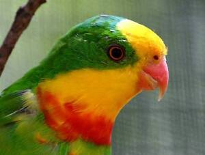 Superb Parrots Albion Brimbank Area Preview