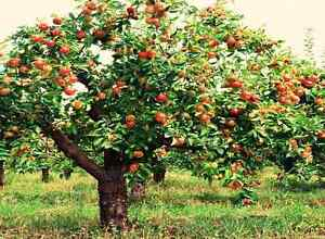 Do You Have Apple Trees?