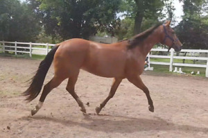 Hunter type QH mare