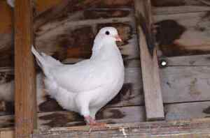 Pure White Pigeons for sale