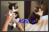 Beautiful Maine Coon Kittens..2 Females Left!