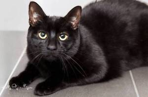 AK0719: Osiris - CAT for ADOPTION - Vet work included Southern River Gosnells Area Preview