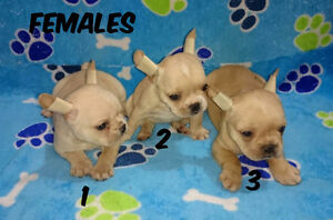 FRENCH BULLDOGS *Top Quality