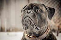 Bullmastiff looking for home