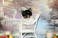 Yorkshire Terrier BIEWER - Yorkie FEMALE