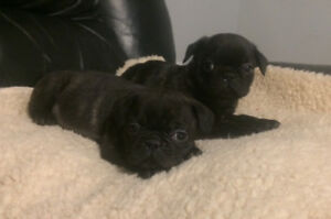 French Pugs