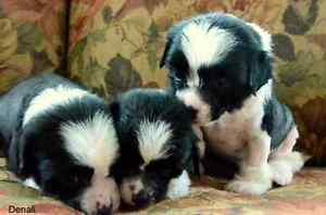 Purebred chinese crested puppies
