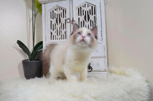 TICA REGISTERED BEAUTIFUL RAGDOLLS (HIGH IN DEMAND)