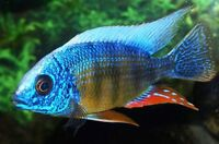 TROPICAL FISH for Sale - African Cichlids