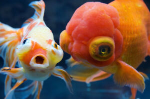 looking for goldfish