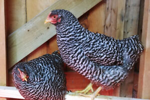 Barred Plymouth Rock - Fertilized Eggs / Hatching Eggs