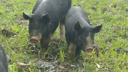 Berkshire grower pigs Mandalong Lake Macquarie Area Preview