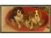 2 king Charles pups 4 1/2months old. One female one male. Pebbles and Bobby.