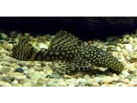 Bristlenose tropical Catfish for sale £2 to £5