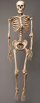 Aged Harvey Life-Size Human Halloween Skeleton, Haunt Skeletons NEW - Life Size Skeleton Halloween