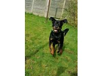 6months rottie boy from champ bred kc