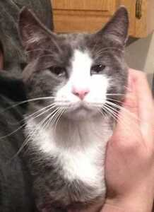 """Adult Male Cat - Domestic Short Hair: """"Sidney"""""""