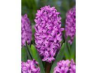 Hyacinthus Orientalis Purple Flower Bulb