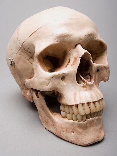 Aged Harvey Life-Size 3 Piece 2nd class Human Skull, Halloween Skull, NEW