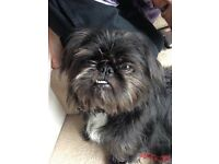 pugzu female 6 months old 450 no offers