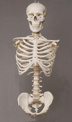 Harvey Skeleton Torso Halloween 2nd class Life-Size, w/ Skull, NEW - Skeleton Torso