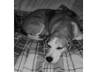 Very Urgent Rehoming Required: 9 Year Old Pure Bred Beagle Bill