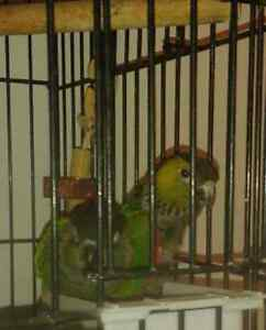 Pair of black cap conures