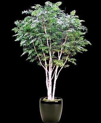 ABEDUL de las CANOAS (Betula papyrifera) 150 semillas