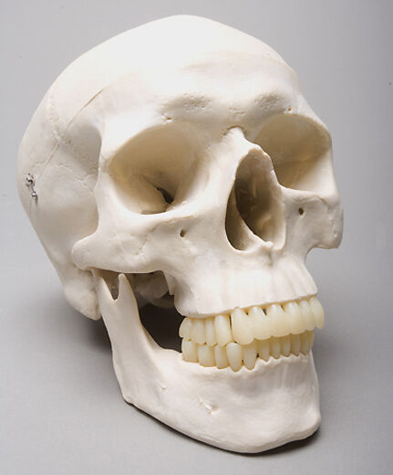 Harvey Life-Size 3 Piece 2nd class Human Skull, Halloween Skull, NEW