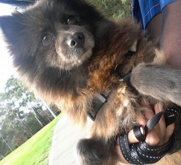 Pomeranian looking for a lovely home Marsfield Ryde Area Preview