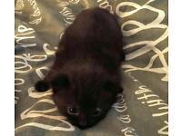 Ragdoll x black kitten