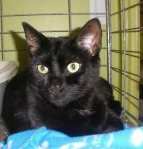 "Adult Male Cat - Domestic Short Hair: ""Cosmo 16 (PN 189)"""