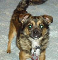 "Young Male Dog - Chihuahua: ""Gary"""