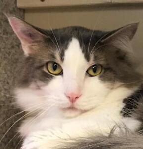 "Adult Male Cat - Domestic Long Hair: ""Fluffy McFlufferson"""